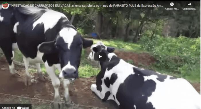 INFESTAÇÃO DE CARRAPATOS EM VACAS: cliente satisfeita com uso de PARASITO PLUS da Expressão Animal