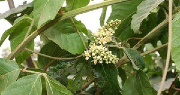 """""""Tingui"""" ou """"Timbó"""": Planta que causa Intoxicação em Bovinos, Caprinos, Ovinos e outros animais."""