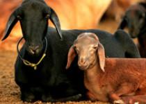 Caprinos e Ovinos: principais enfermidades