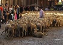 Ovelhas e destaque no mundo: curiosidades